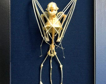 Real Vampire Bat Skeleton Scotophilus Kuhlii Taxidermy Museum Quality Framed In Display