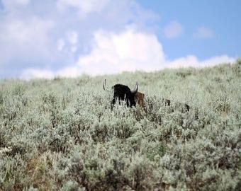 Hiding Buffalo