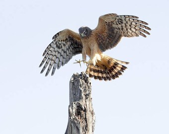 Northern Harrier Female flight photography Florida birds of pray photo