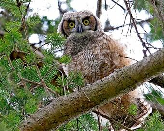 Owl Photos, Baby Owl Print, Great Horned Owl, Bird Photography, Raptor Print, Nature Photography, Owl Decor, Owl Wall Art