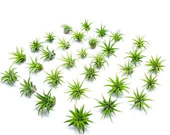 25 Miniature Fairy Garden Plants - Tillandsia Air Plants for Enchanted Gardens - Terrarium House Plant Accessories / Gardening Supplies