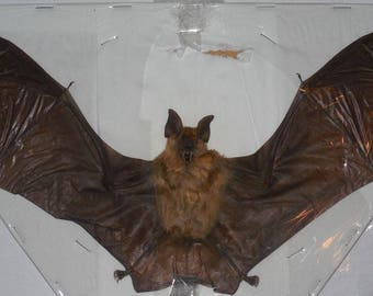 HIPPOSIDEROS MADURAE Real bat spread wings Taxidermy Fast Ship