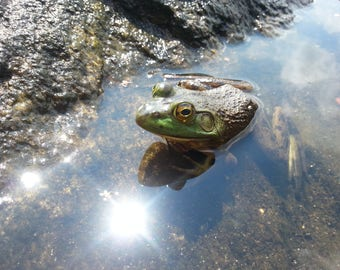 Photography Green Frog
