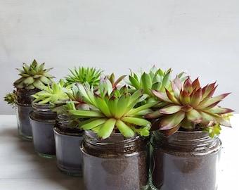 Sempervivum / Succulent Glass Jar Favours (Set of 8 Medium) - Gifts, Wedding Favours, Baby Shower Favours