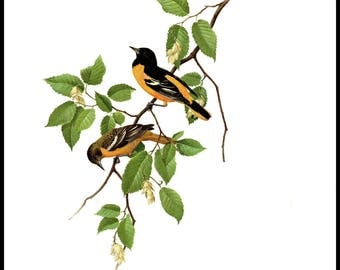 """The Baltimore Oriole painted by J F Landsdowne for Birds of the Eastern Forest2. The pages are 9 1/2""""  wide and 13"""" tall."""