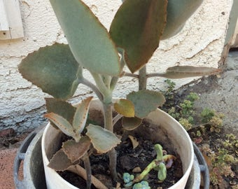 Glorious Succulents Young Baby Kalanchoe  Beharensis Plant AKA Felt Plant or Napoleons Hat
