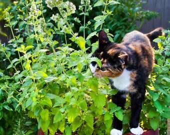 Catnip Seeds - Nepeta Cataria - +150 seeds - .5 gram packet
