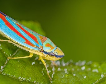 Digital Download: Red-banded Leafhopper photo