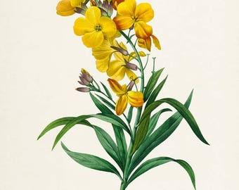 Charanthus flavus Flower Art Print, Botanical Art Print, Flower Wall Art, Flower, Floral Print, Redoute, yellow, green, Charanthus flavus