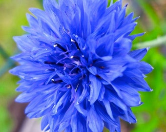 Bachelor Button Seed Packet - Blue