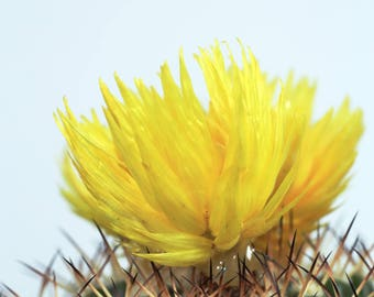 Med Texas Cactus Yellow Flower 16x24 Digital Download, Home Decor, Wall Art
