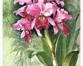 Antique, Original Paul De Longpre  Lithograph Orchid Print, Signed 1899