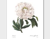 Botanical Illustration, Peony Print (Beach Cottage Art, White Home Decor) -- Pierre Redoute