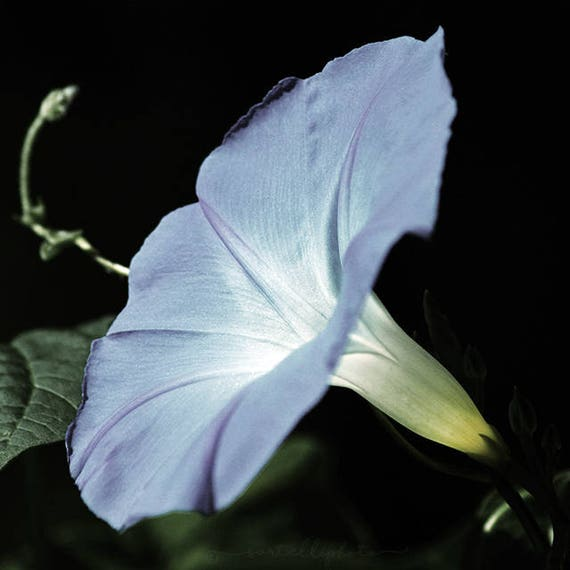 Heavenly Blue Morning Glory - Ipomoea tricolor Blooming Flower Nature Photography Print Wildflower Gardening Summer Home Decor Wall Art