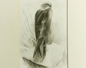 Antique bookplate, Marsh Harrier, Meilland, Bird print, Ornithology, Black and white bird picture