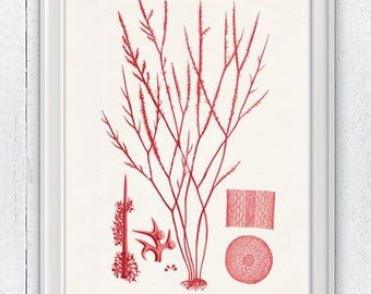 Red weed Parts 01- Seafan parts  in red - sea life print science illustration, A4 print, Coral Biology study,  student SWC102