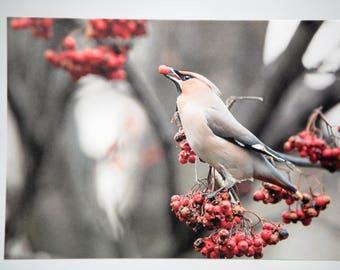 Waxwings Bird A6 Card