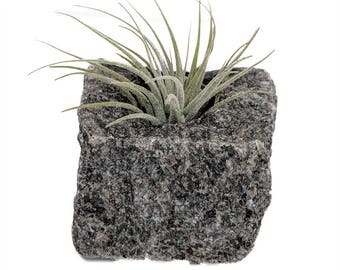 "Granite Vase with Living Air Plant - Gray - 2"" x 2"" x 2.5"""