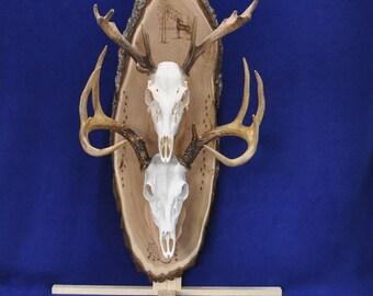 Skull Mount ~ Deer Hunting ~  European Mount Plaque ~ Deer ~ Deer Skull Mount ~ Gift For Hunter ~ Antler Mount ~ Gift For Husband ~ Hunting