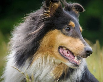 Sheltie Notecards! Or any breed notecards packaged in a plastic bag. Free Shipping!