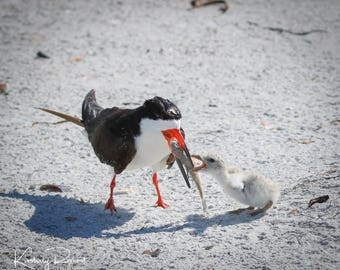 Lunch with Momma - Black Skimmer Feeding Her Chick