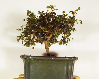 Fukien tea tree bonsai in a dark green colored pot. This bonsai flowers and produces a small red berry.