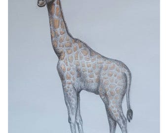 Giraffee Calf - Signed Limited Edition A4 Print of an original pencil drawing.