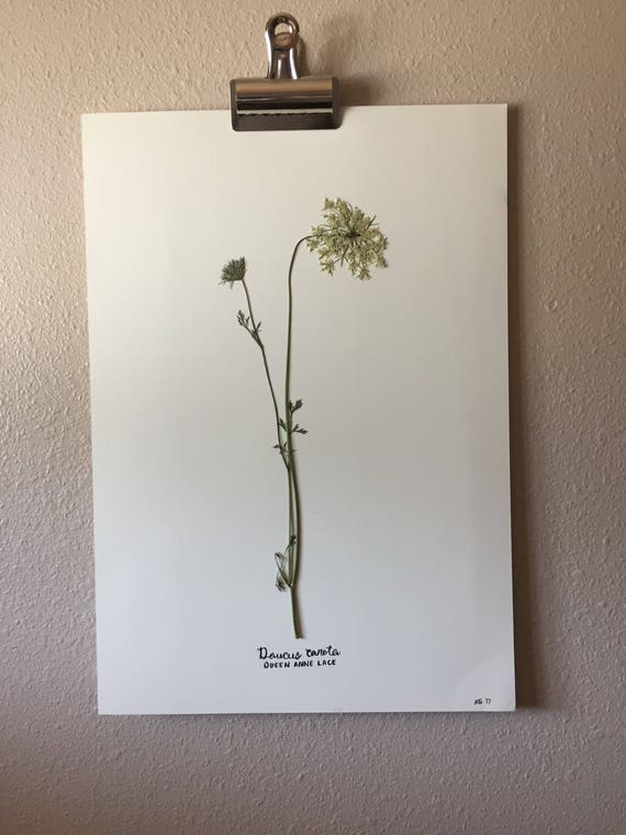 Queen Anne Lace Herbarium 11.5x16.5 - Texas Wildflower Botanical Art- Large Pressed Flower Art- Framed Floral Art- Specimen Art- Wildflower
