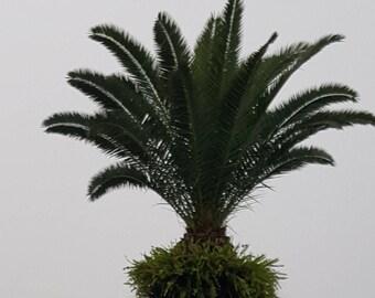 Live 1-2Ft Tall Sago Palm - 2 Gal Pot - Free Shipping