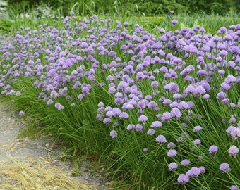 Chive Seeds Allium 1.0 g or >600 seeds