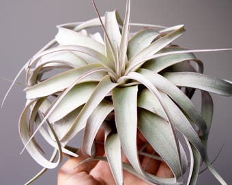 BLUSHING Pink Xerographica // Medium Size Air Plant