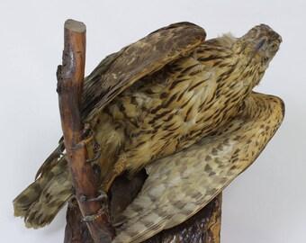 French Bird of Prey Real Taxidermy // eagle // hawk // Bird taxidermy // Hawk //