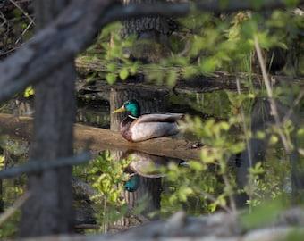 Self Reflection - male Mallard duck wildlife photography.  Color fine art print.  Michigan nature. Home decor. Free domestic shipping.
