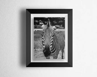 Zebra 11 x 14 Black and White Photography Print