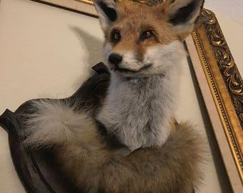 Red fox taxidermy mount