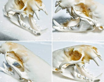 Mink Skull - Taxidermy - Oddities