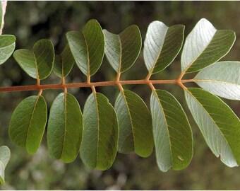 20  Seeds Meliosma pinnata var. oldhamii