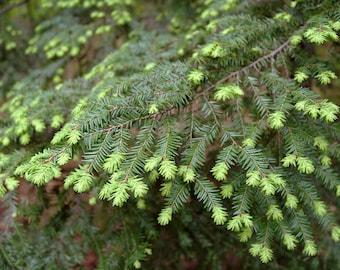 10 Tsuga canadensis Seeds, Eastern hemlock Seeds Variety  microphylla