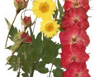 Pressed flowers, red rose, rose buds, marguerite, rose leaves for floral art, craft, card making