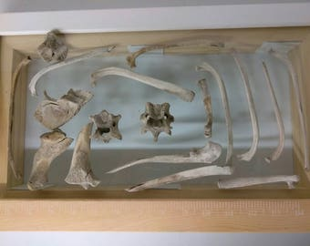 Real Animal Bones