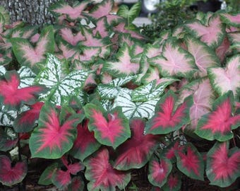 Caladium Mix Color Foliage Bulb Summer Blooming Plant