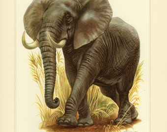 Vintage lithograph of the African bush elephant from 1956