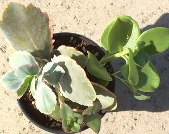 Small Succulent Arrangement - Assorted Varieties of Succulents