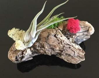 Air plant (Tillandsia) on beautifully dried driftwood, ideal centre piece or gift....