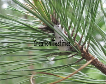 Nature photograph - Evergreen with Water Droplet