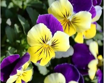 Helen Mount - 30 seeds - Viola Johnny jump-up - Viola wittrockiana - Viola tricolor