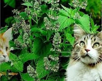 400 Catnip Seeds Catmint Nepeta Cataria Organic