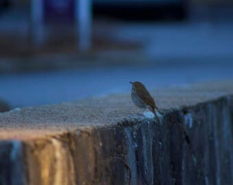 Wood Thrush Photography Print, Bird Photography, Bird Print, Fine Art Print, 13x19, Photography, Bird Art, Songbird, Art