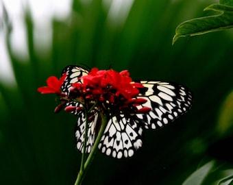 amazonian butterflies