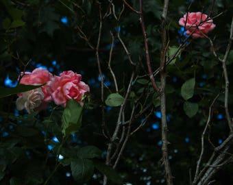 Rose Bush 7x10 digital download